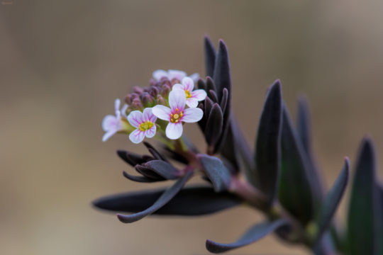 The burnt candytuft