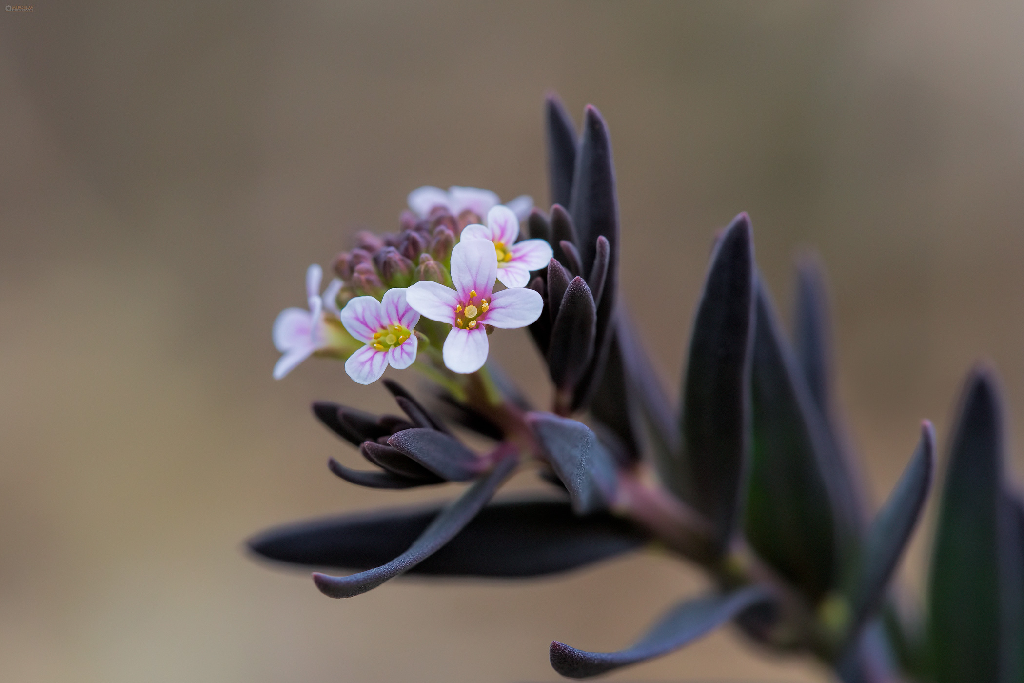The burnt candytuft (Aethionema saxatile). Kamenjarska kamnica.