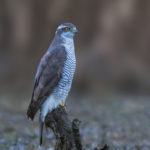 Sparrowhawk (Accipiter nisus). Kobac.