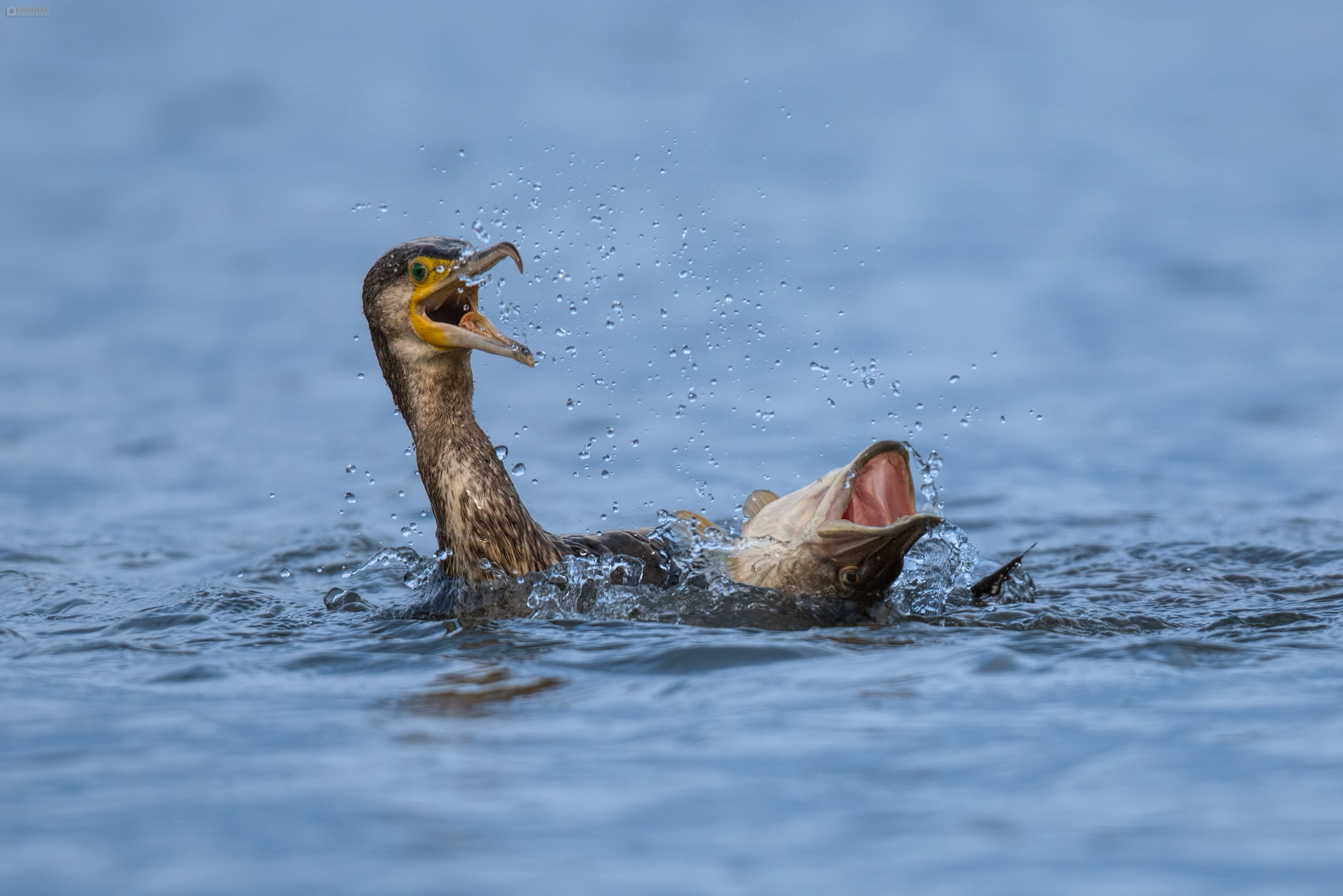 Great Cormorant (Phalacrocorax carbo) and Northern pike (Esox lucius) in fight. Veliki vranac se bori sa štukom.