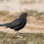 Blackbird (Turdus merula). Kos.