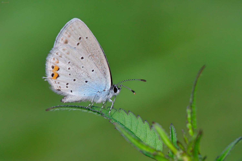 Short-tailed Blue (Cupido argiades). Kratkorepi strjeličar.