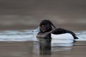Tufted Duck (Aythya fuligula). Krunata patka.