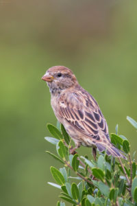 House sparrow (Passer domesticus). Kućni vrabac.
