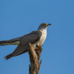 Cuckoo (Cuculus canorus). Kukavica.