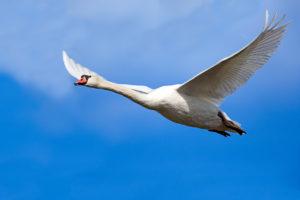 Mute Swan (Cygnus olor) in flight. Crvenokljuni labud u letu.