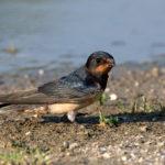 Barn Swallow (Hirundo rustica). Lastavica.
