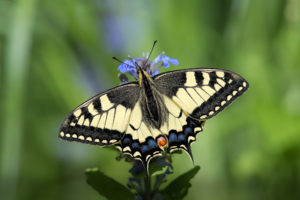 The Old World Swallowtail (Papilio machaon). Lastin rep.