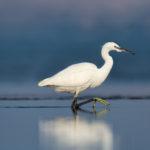 Little Egret (Egretta garzetta). Mala bijela čaplja.