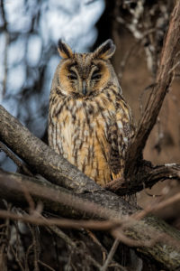 The long-eared owl (Asio otus). Mala ušara.