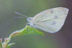 Mountain Small White (Pieris ergane). Mali bijelac.