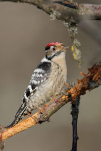 Lesser Spotted Woodpecker (Dendrocopos minor). Mali djetlić.