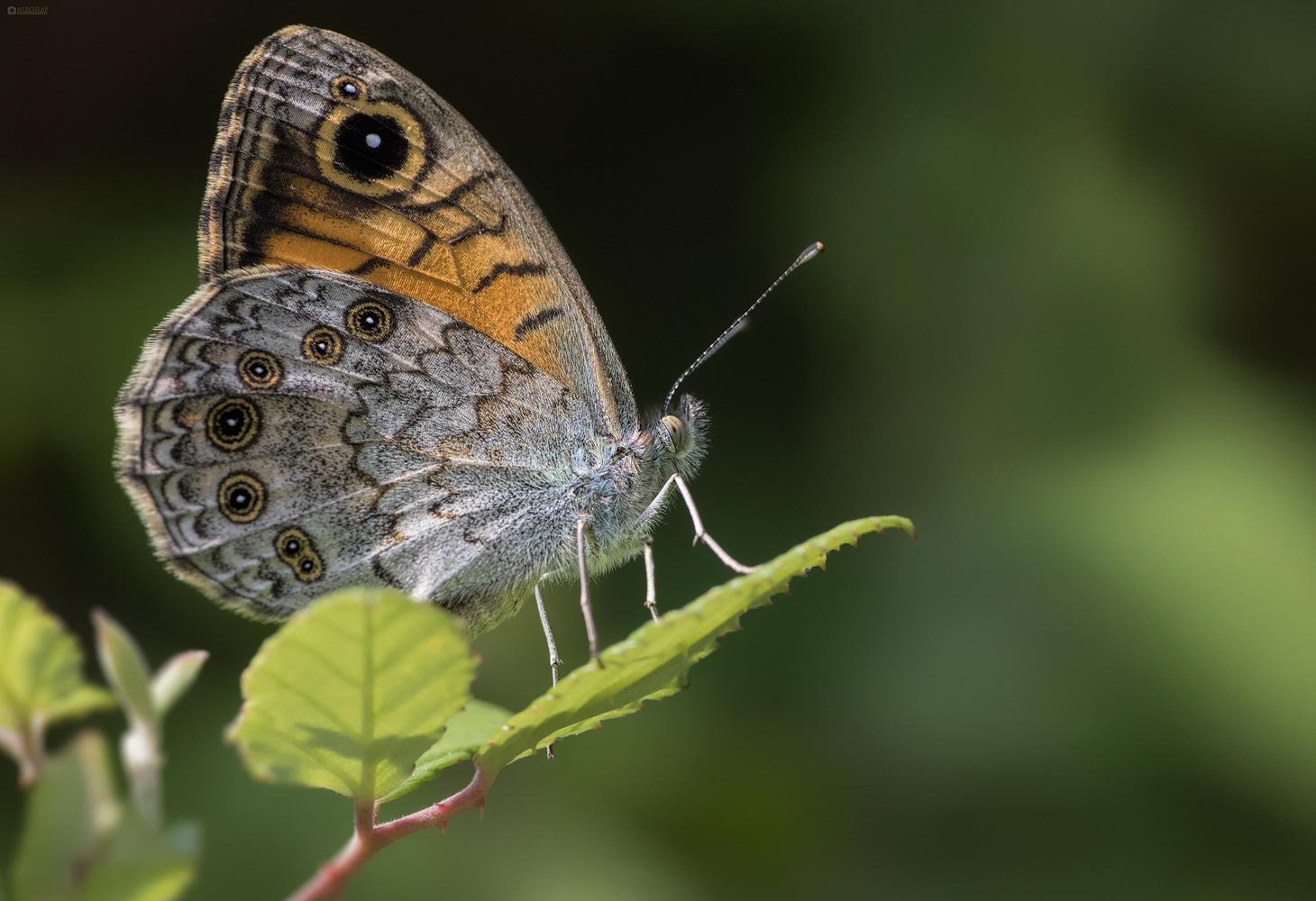 The Wall Brown (Lasiommata megera). Mali pjegavac.