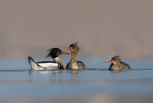 Red-breasted Mergansers (Mergus serrator), 2 x female, 1 x male. Mali ronac, 2 ženke i 1 mužjak.