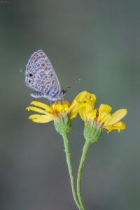 Lang's Short-tailed Blue (Leptotes pirithous). Mali tigrasti plavac.