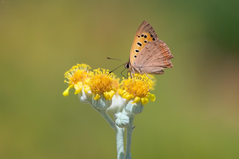 Small Copper (Lycaena phlaeas). Mali vatreni plavac.