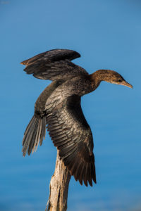 Pygmy Cormorant (Phalacrocorax pygmaeus). Mali vranac.