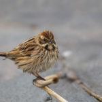 Common reed bunting (Emberiza schoeniclus). Močvarna strnadica.