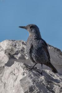 Blue Rock Thrush (Monticola solitarius). Modrokos.