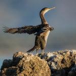 European Shag (Phalacrocorax aristotelis). Morski vranac.