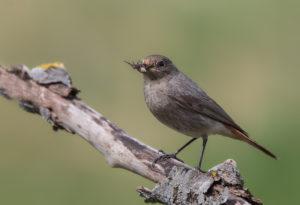 Black Redstart (Phoenicurus ochruros) with prey. Mrka crvenrepka sa plijenom.