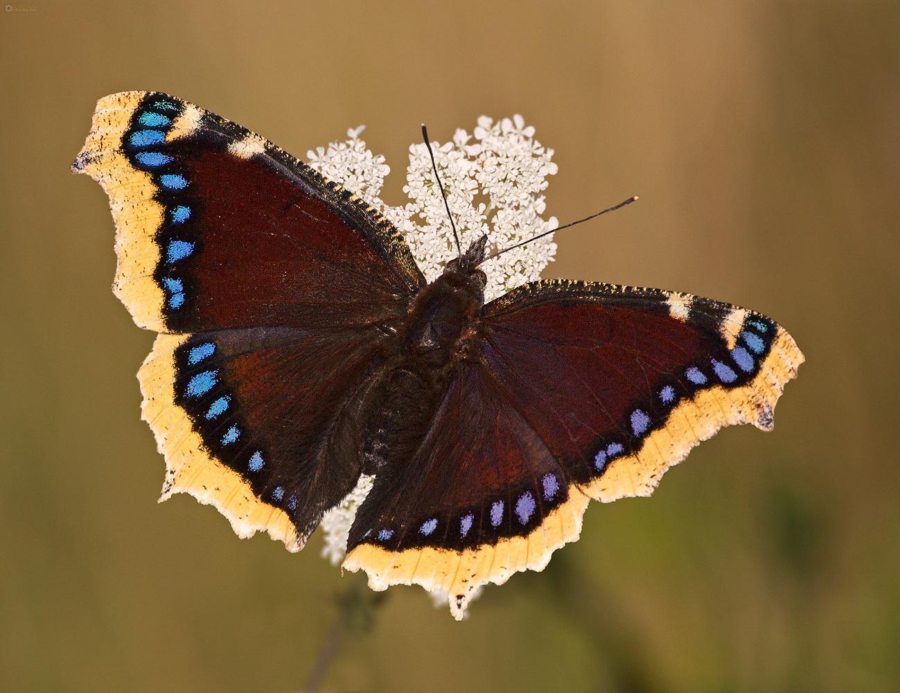 Amberwell Beauty (Nymphalis antiopa). Mrtvački plašt.
