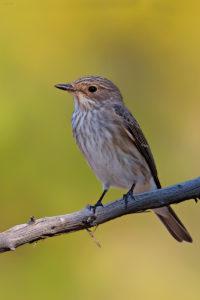 Spotted Flycatcher (Muscicapa striata). Muharica.