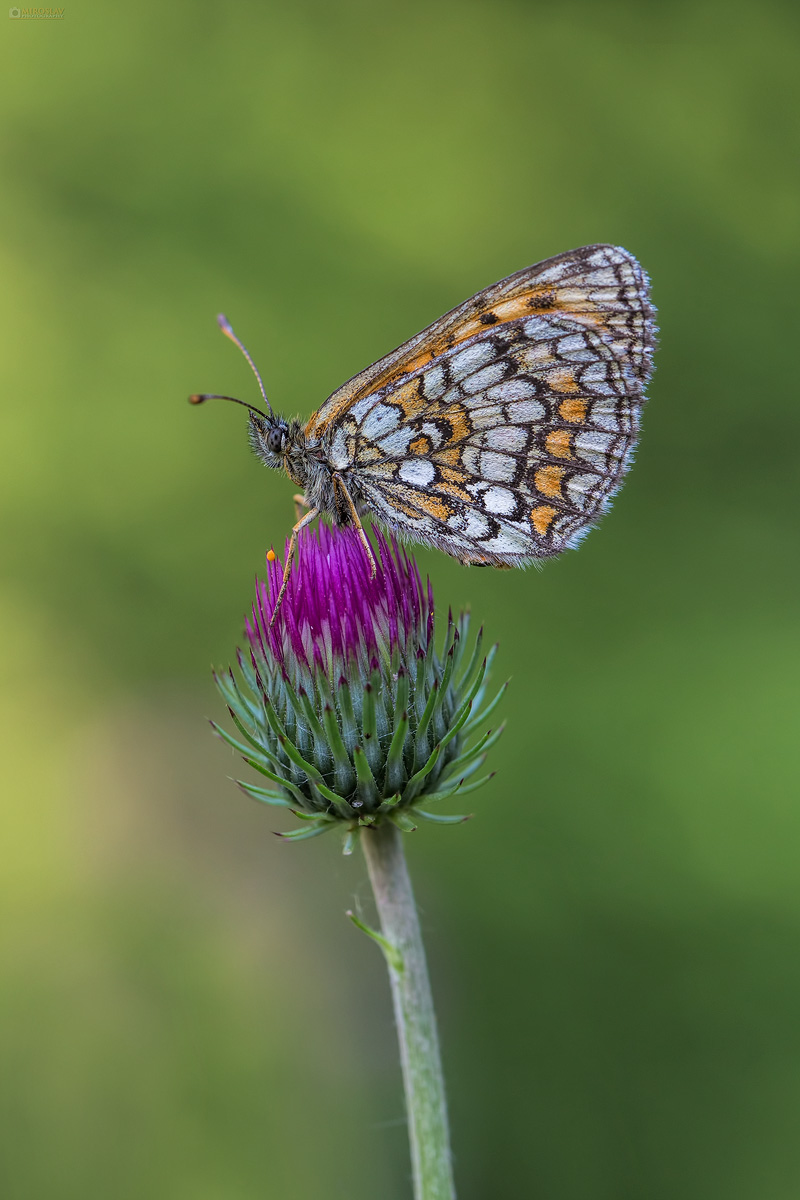 The heath fritillary (Melitaea athalia). Obična riđa.