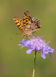 The Queen of Spain Fritillary (Issoria lathonia). Obična sedefica.