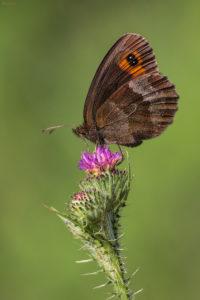 Scotch Argus (Erebia aethiops). Obični planinski okaš.