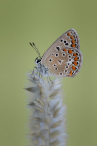 Common Blue (Polyommatus icarus), female. Obični plavac, ženka.