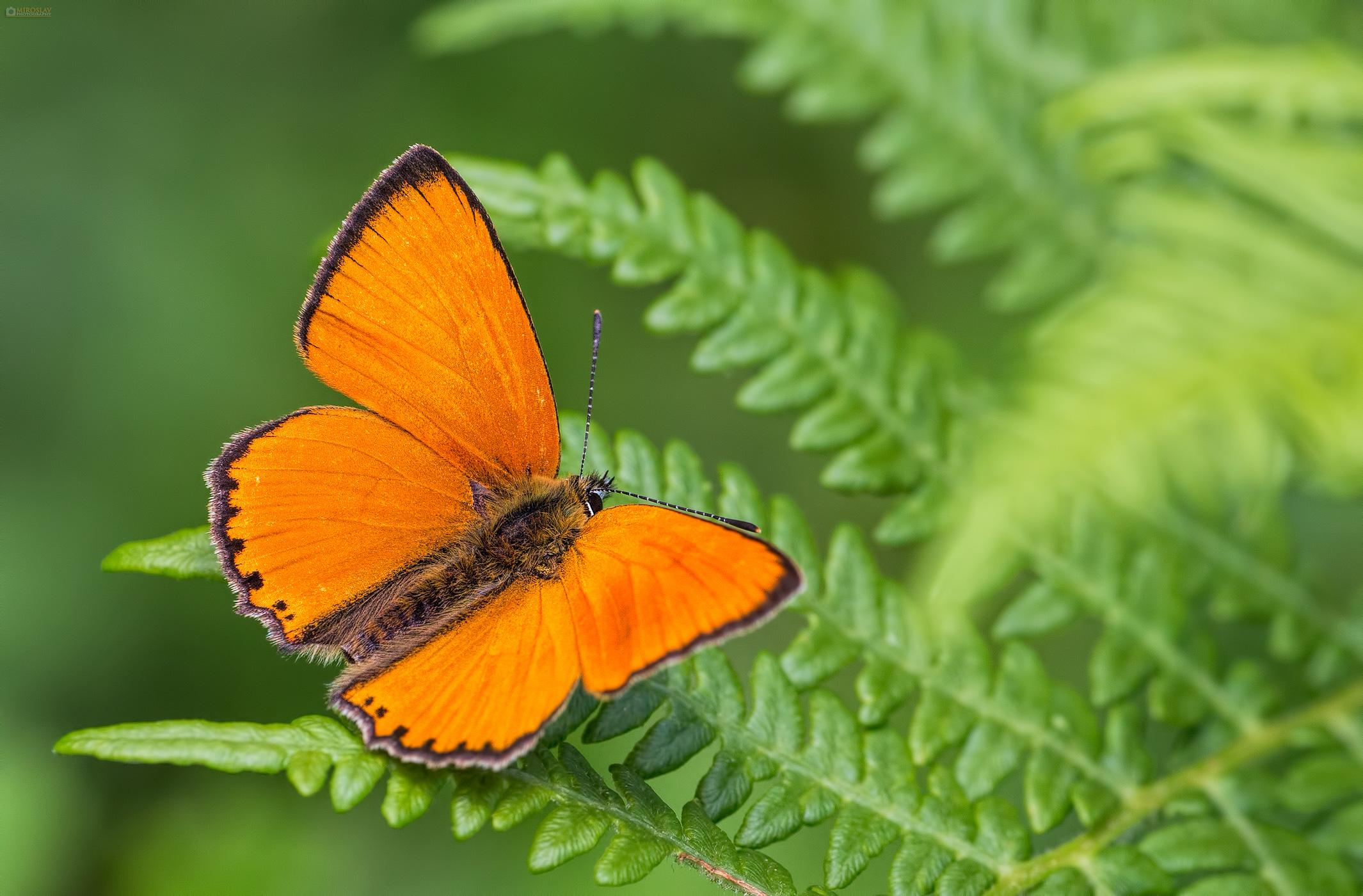 Scarce copper (Lycaena virgaureae), male. Obični vatreni plavac, mužjak.