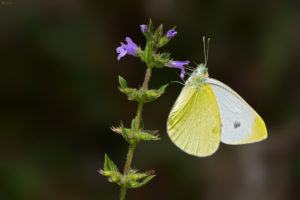 The Southern Small White (Pieris mannii). Ognjičin bijelac.