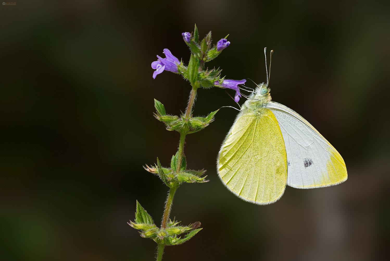 The Southern Small White (Pieris mannii). Ognjičin bijelac.