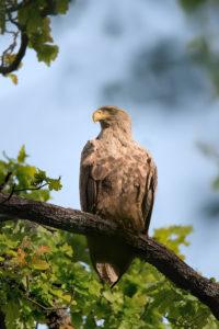 White-tailed Eagle (Haliaeetus albicilla). Orao štekavac.