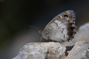 The Tree Grayling (Hipparchia statilinus). Ovsikov sivac.