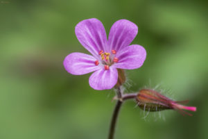 Herb Robert (Geranium robertianum). Pastirska iglica.