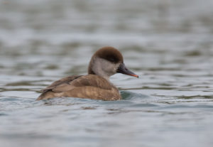 Red-crested Pochard (Netta rufina), female. Patka gogoljica, ženka.