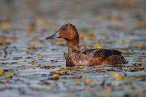 Ferruginous Duck (Aythya nyroca), female. Patka njorka, ženka.