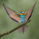 Bee-eater (Merops apiaster) in landing pose. Slijetanje pčelarice.