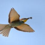 Bee-eater (Merops apiaster) in flight with prey (bumblebee). Pčelarica u letu s plijenom (bumbar).