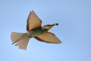 Bee-eater (Merops apiaster) in flight with prey. Pčelarica u letu s plijenom.