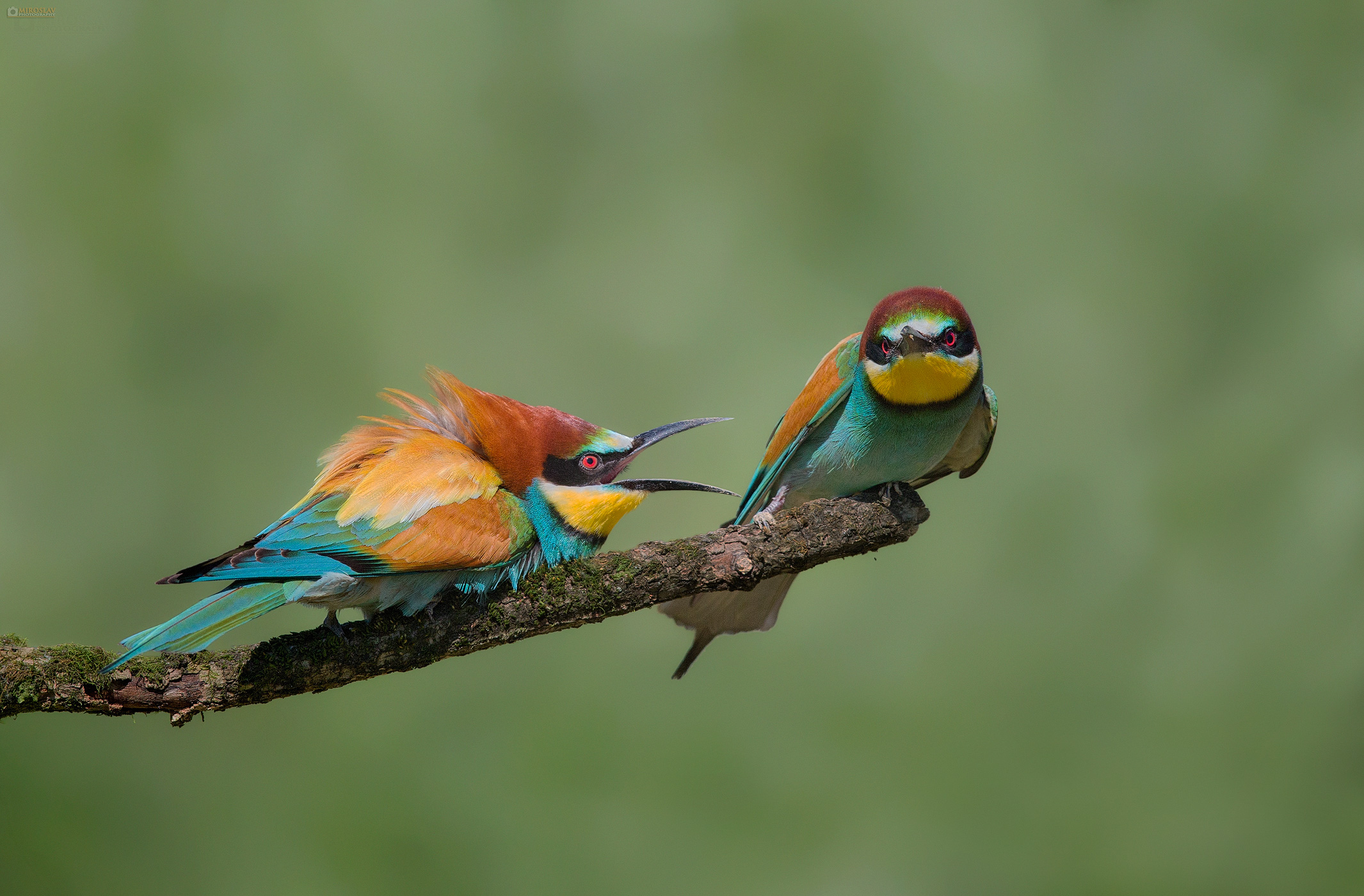 Bee-eaters (Merops apiaster) in fight. Pčelarice u svađi.