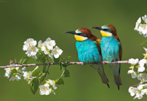 Bee-eaters (Merops apiaster). Pčelarice.