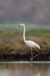 Greater Flamingo (Phoenicopterus ruber). Plamenac.