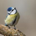 Blue Tit (Parus caeruleus). Plavetna sjenica.