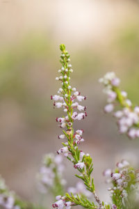 Autumn heather (Erica manipuliflora). Primorska crnjuša.