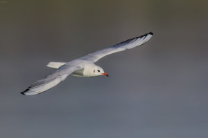 Black-headed gull (Chroicocephalus ridibundus) in flight. Riječni galeb u letu.