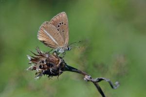 Ripart's Anomalous Blue (Polyommatus ripartii). Ripartijev smeđi plavac.