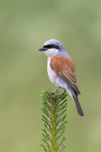Red-backed Shrike (Lanius collurio), male. Rusi svračak, mužjak.